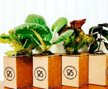 Vaso de papelão dobrável é usado para plantar orgânicos