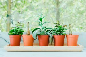 Cactos e suculentas: acerte na rega com estas dicas